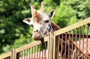 Climpro prisideda prie žirafos vėdinimo